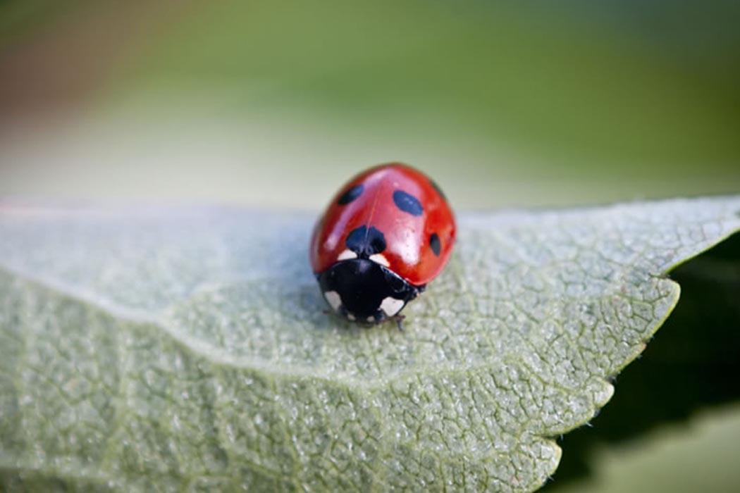 Macro Ladybug | Photography